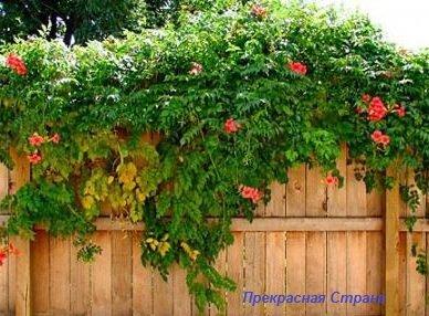 Вьющиеся растения — плющи, лианы и жимолость