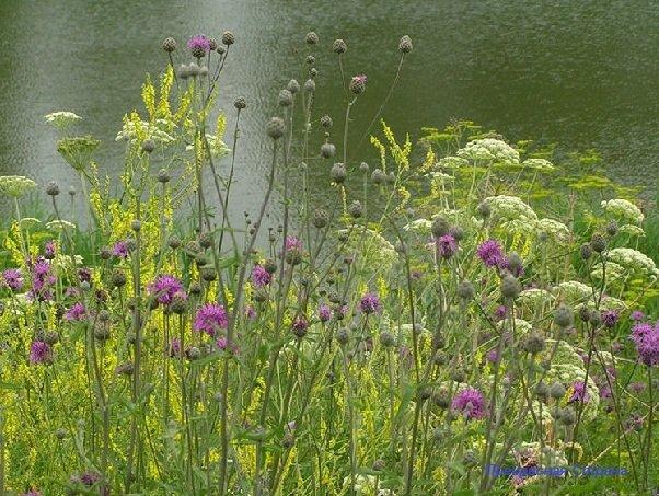 Луговые и полевые растения нашего климата