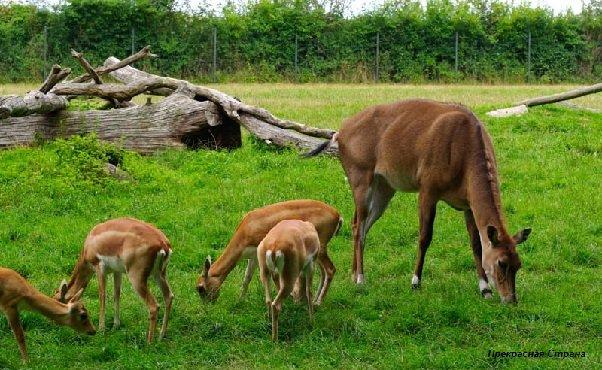 Антилопы Нильгау