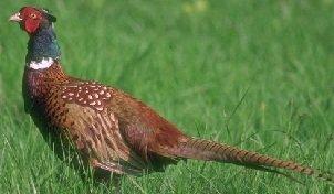 Родственники кур - фазан