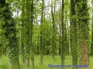 Вьющиеся растения - английский плющ