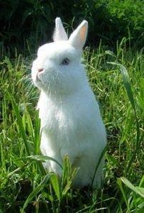 Польский кролик – описание породы, фото и видео