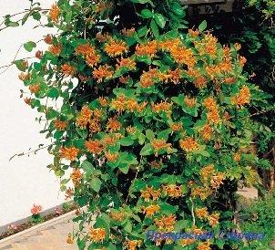 Вьющиеся растения - жимолость