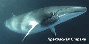 Киты и кашалоты - кит сейвал