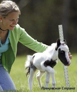 Карликовая лошадка заменит кошек и собак
