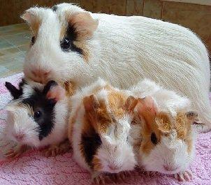Короткошерстные морские свинки