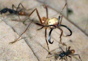 Армейские муравьи - солдаты