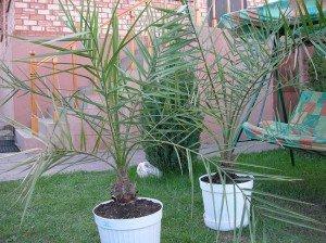 Как вырастить финиковую пальму у себя дома