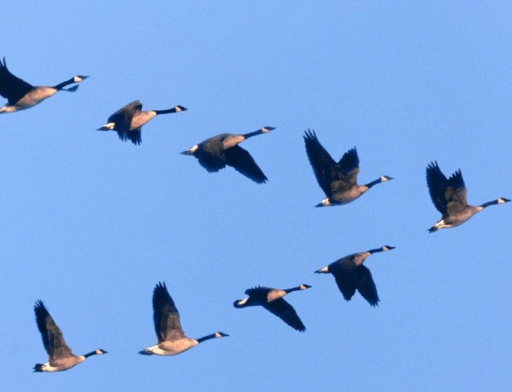 Куда и как летят зимовать птицы