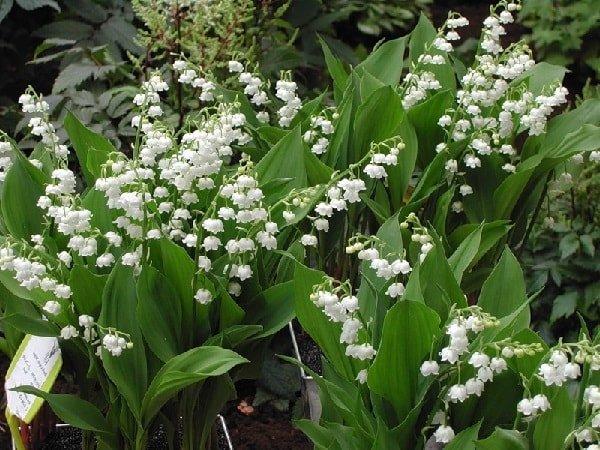 Ландыш лесной – описание цветка, фото и видео