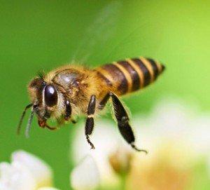 Медовая пчела африказированная