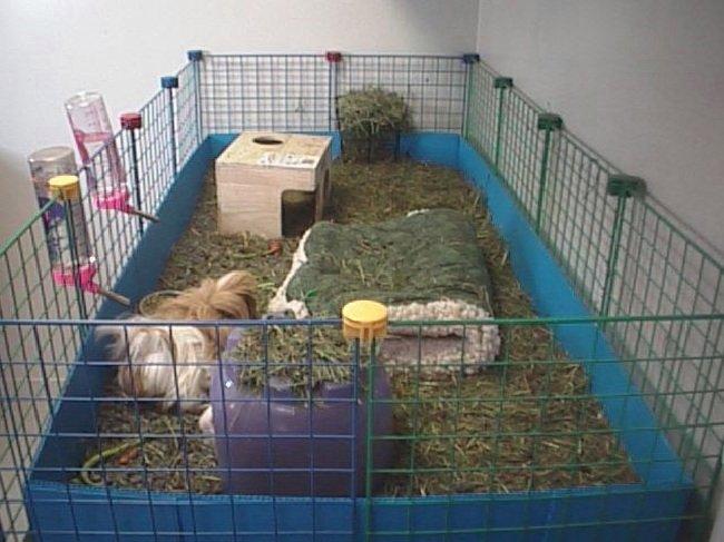 Морская свинка дома
