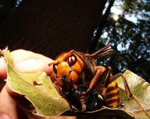 Пчела – тигр