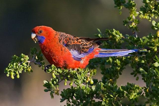 Австралийские попугаи – описание птиц, фото и видео