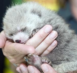 Исчезающие животные - детеныш панды