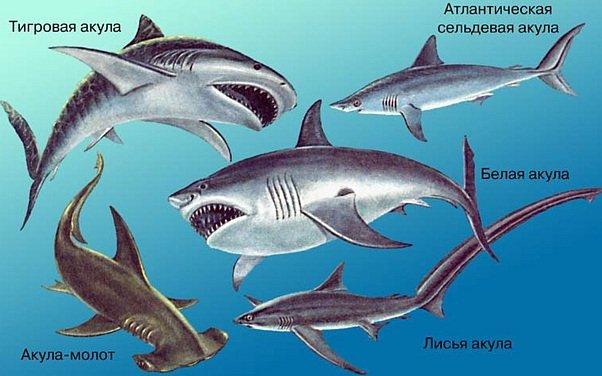 Почему акулу не видят другие рыбы и человек