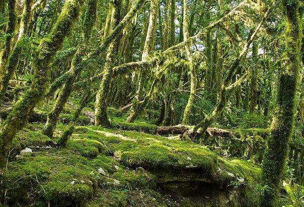 Самшит — самшитовое дерево