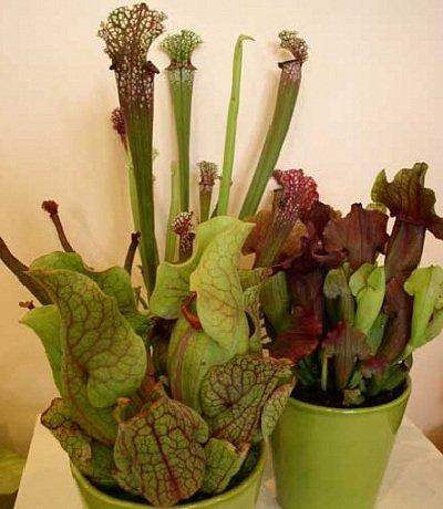 Растения людоеды - саррацения
