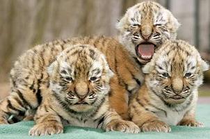 Тигры — интересные факты о жизни тигров