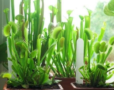 Растения людоеды в домашних условиях