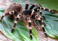 Все о пауках, опасные и ядовитые пауки