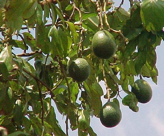 Авокадо — откуда этот фрукт к нам приехал