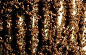 Что делают пчелы зимой как выживают в морозы