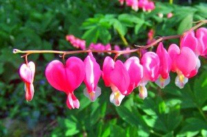 Дицентра великолепная цветы