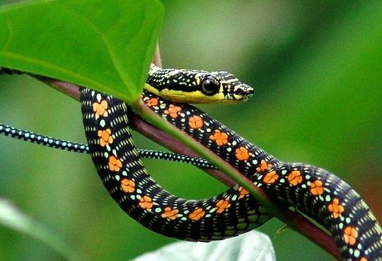 Летающие змеи Хризопелеи