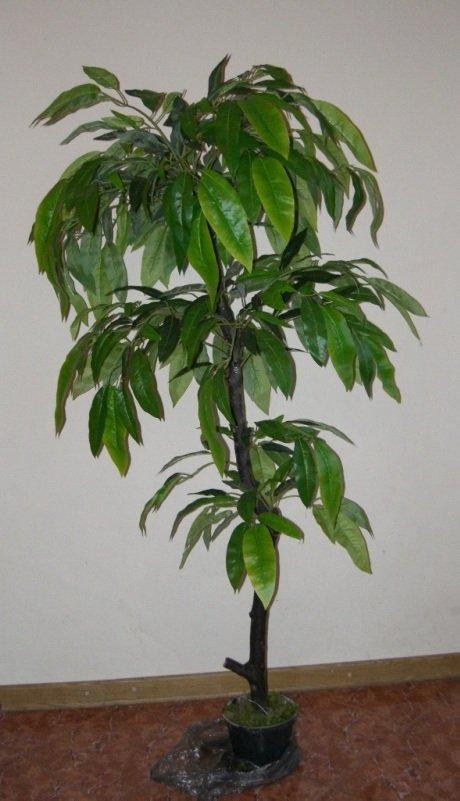 Манговое дерево дома