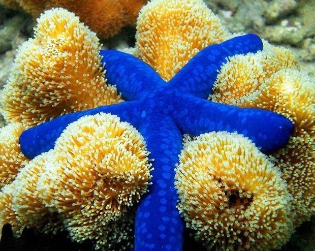 Морские голубые звезды описание фото видео