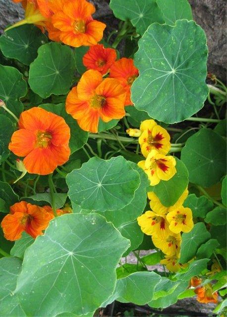 Настурция большая – описание растения, фото и видео, уход