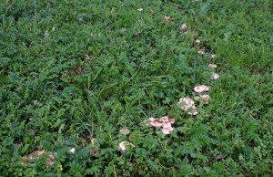 Почему грибы растут кругами образуя ведьмины кольца