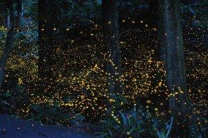 Почему светятся светлячки ночью