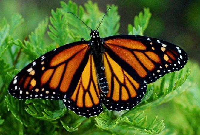 Бабочки монархи делают самые длинные перелеты