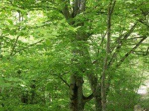 Буковые леса Крыма