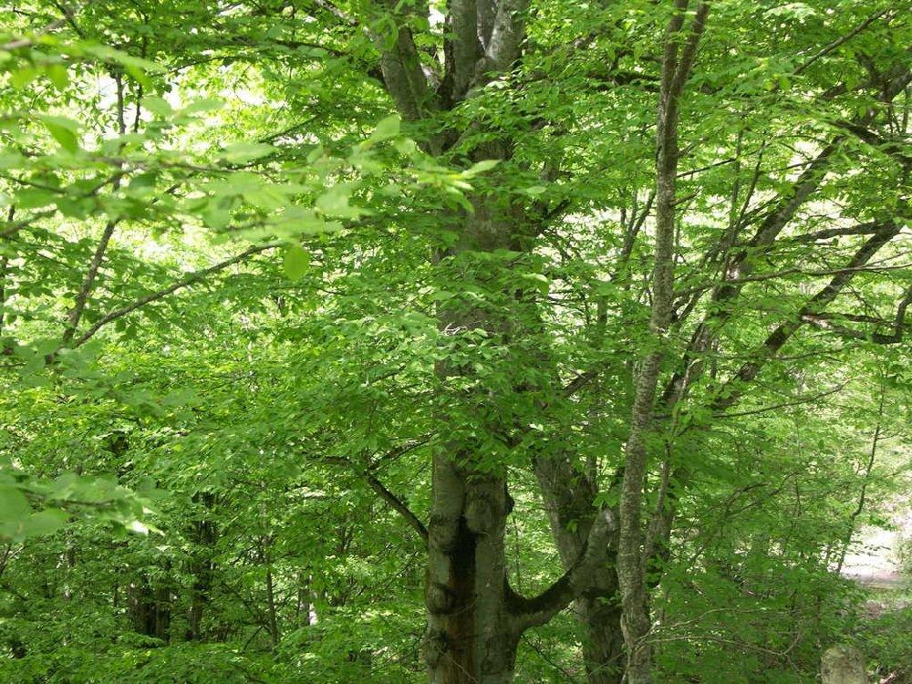 Буковые леса Крыма отличаются своей неповторимостью