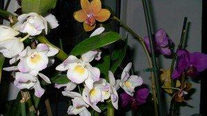 Где растут орхидеи фаленопсисы в дикой природе