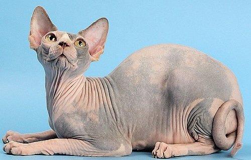 Кошка породы канадский сфинкс