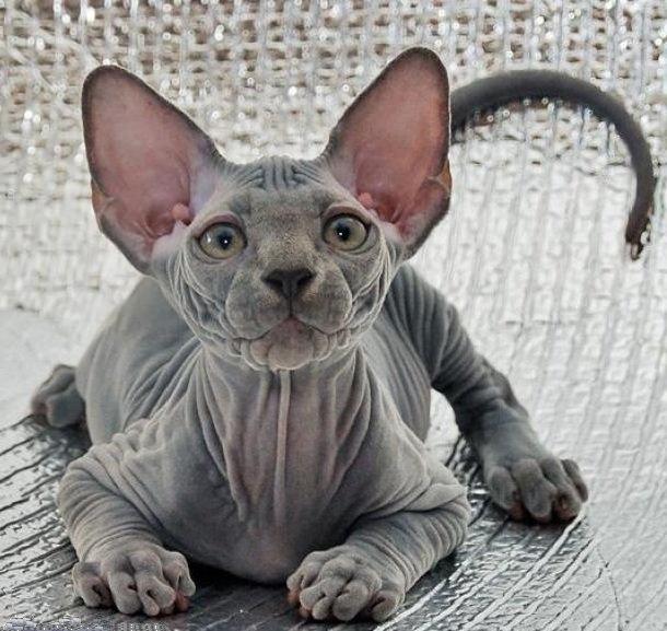 Кошка породы канадский сфинкс бархатное чудо