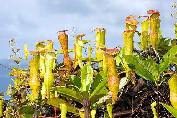 Насекомоядное растение Непентес