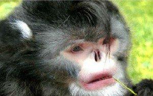 Исчезающие виды обезьян Ринопитек Страйкера