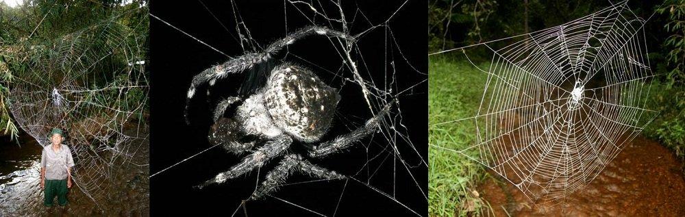 Паук Церостр плетет самую большую паутину