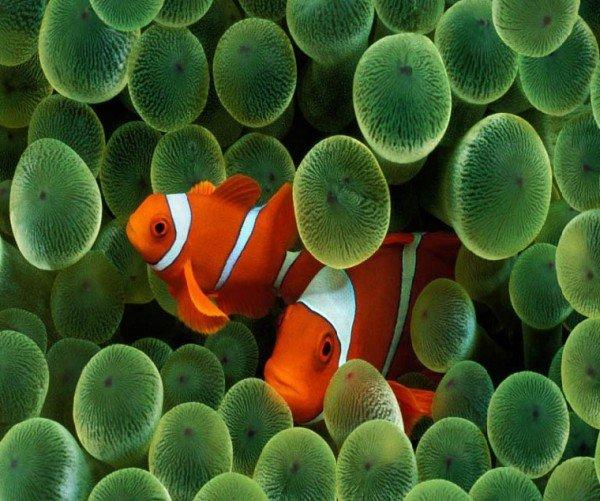 Рыбы клоуны – описание особенности жизни, фото и видео
