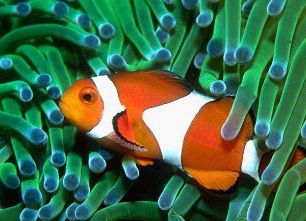 Рыбы клоуны – описание особенности жизни