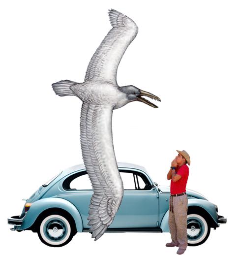 Самая большая птица земли Пеларгонис чилийский