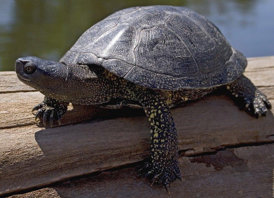 Уход за пресноводными черепахами в домашних условиях