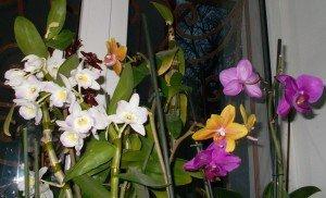 Где растут орхидеи фенопсисы в дикой природе