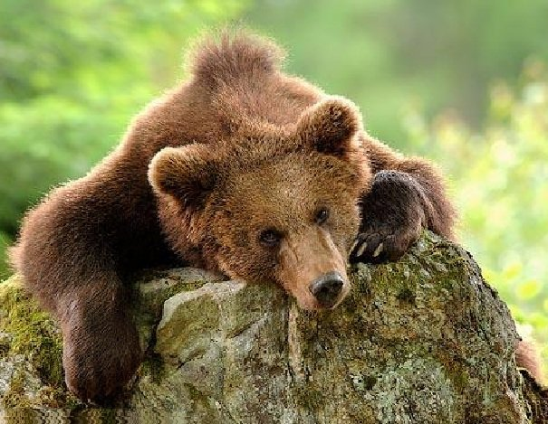 Бурый медведь Карпатских гор