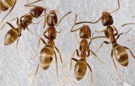 Муравьи — война среди муравьиных видов